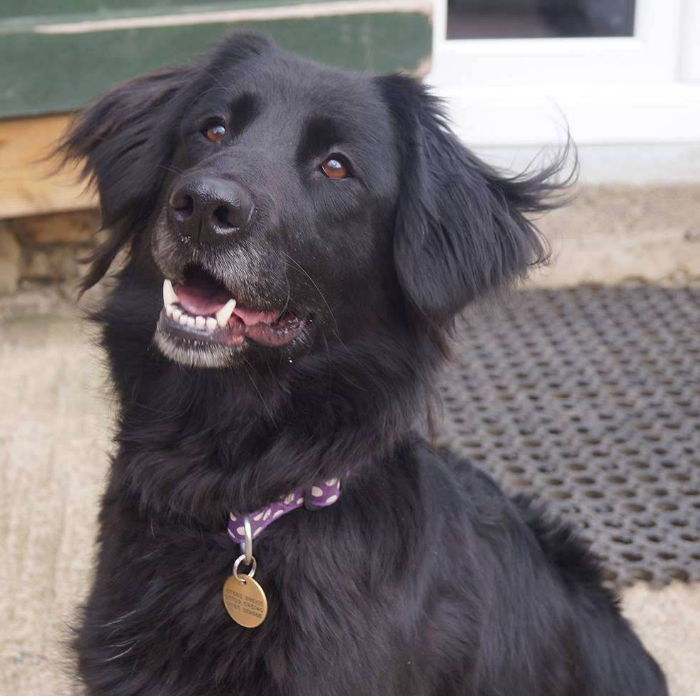 Flat Coated Retriever Cross The gallery for -->...